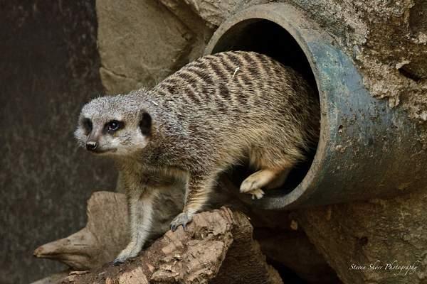 Meerkat 222