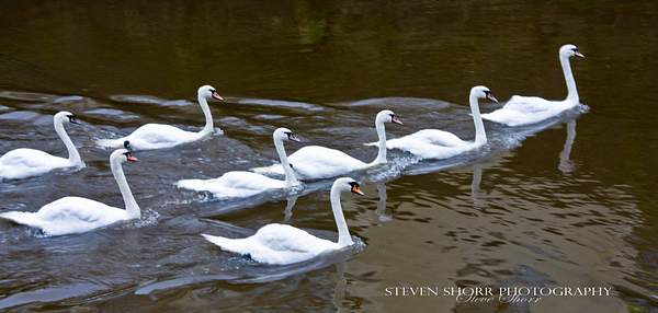 Swans of Kenmare 222