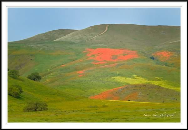 CA Hwy 46 Poppies 222