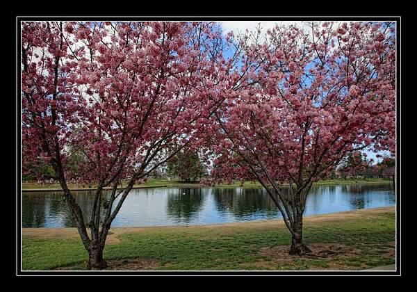 Cherry Blossoms 222