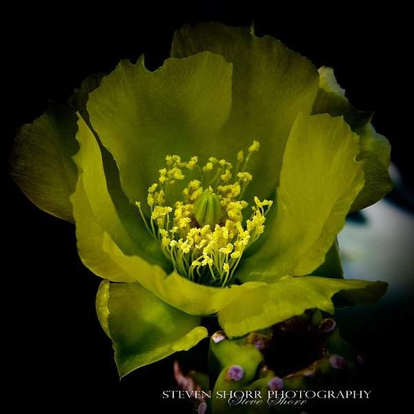 Cactis Flower 222