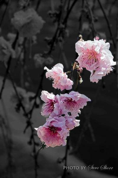 Cherry Blossom 222