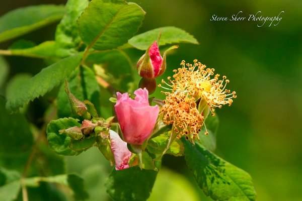Wild Tea Roses 222