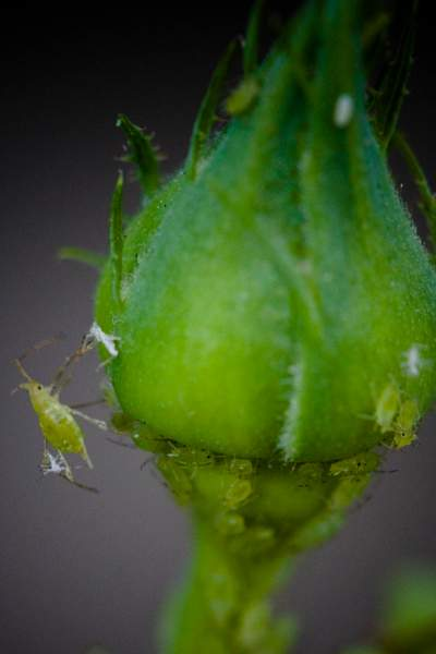 Aphids 1 222