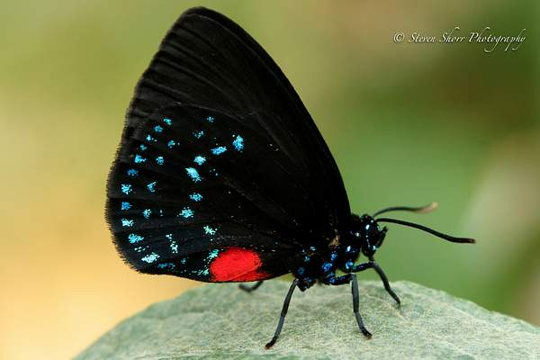 Atala Hairstreak 222