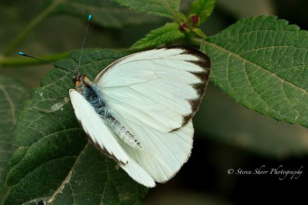 Great Southern White 2 222