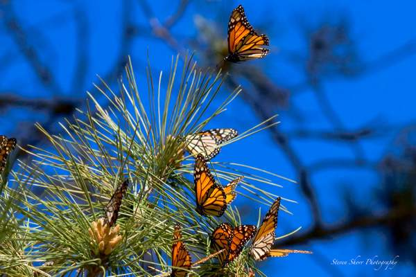 Monarch Butterfly 1 222