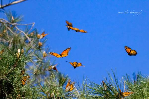 Monarch Butterfly 3 222
