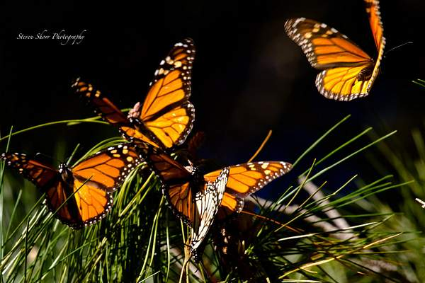 Monarch Butterfly 4t 222