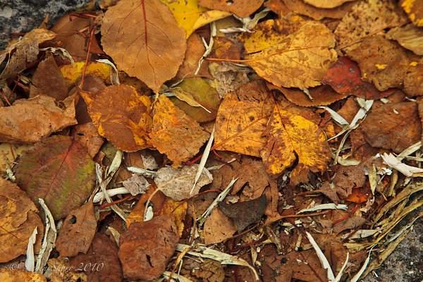 Autumn_Leaves 222