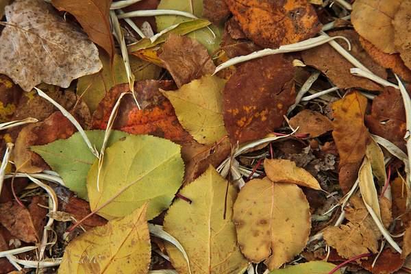 Autumn_Leaves_4 222