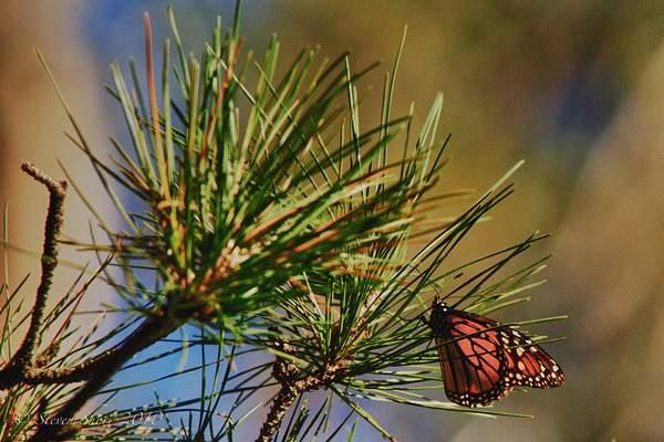 Monarch_Butterflies-Pismo-2011-4 222