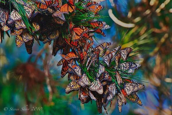 Monarch_Butterflies-Pismo-2011-3 222