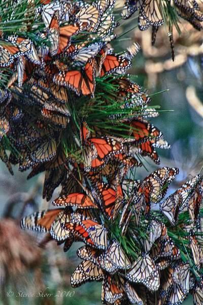 Monarch_Butterflies-Pismo-2011-2 222