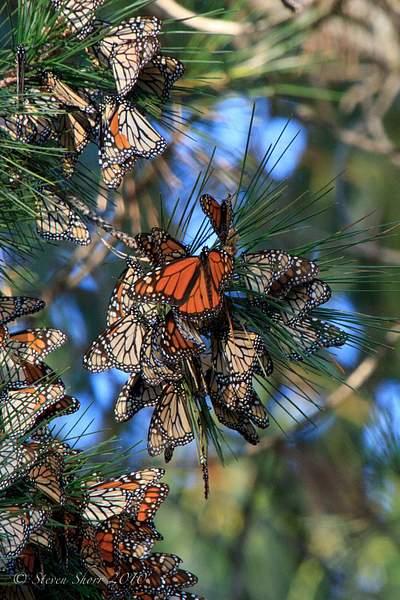 Monarch_Butterflies-Pismo-2011-1 222