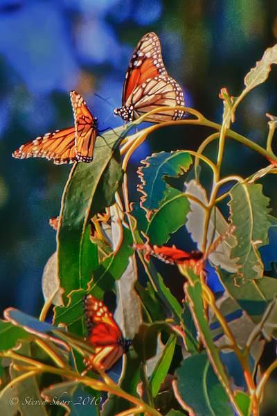 Monarch_Butterflies-Pismo-2011-5 222