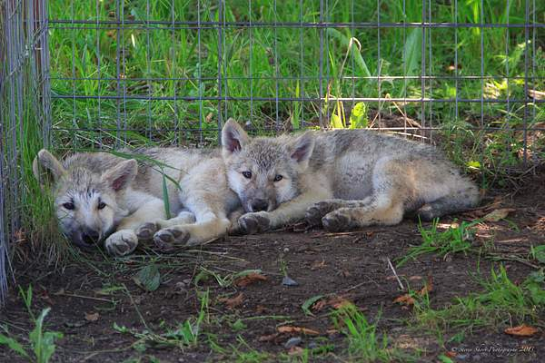 Wolf Cubs 222