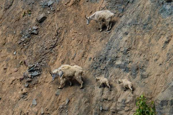 Mountain Goats-2 222