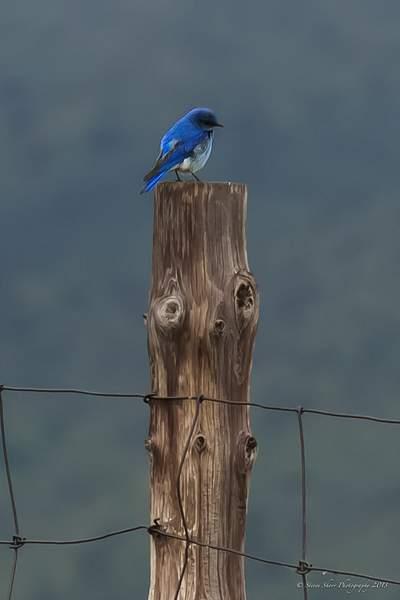 Bluebird of Happiness 222