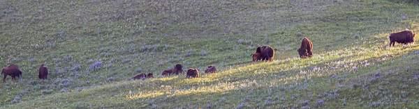 Bison at Waterton Park, Alberta, Canada 222