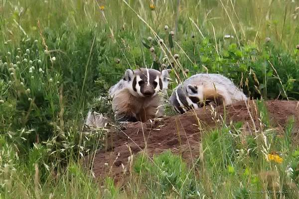 Badgers at Work 222