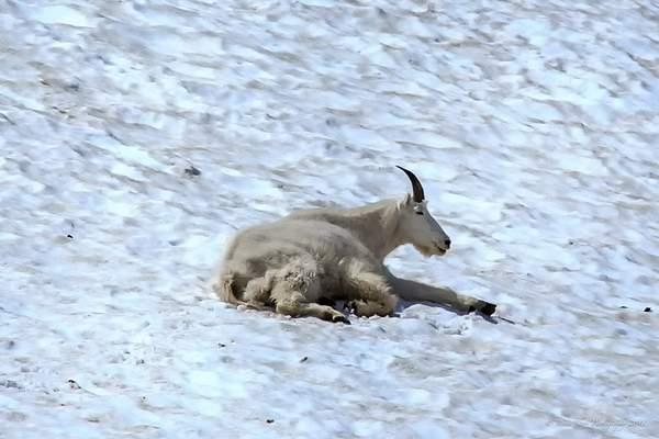 Mountain Goat-3 222