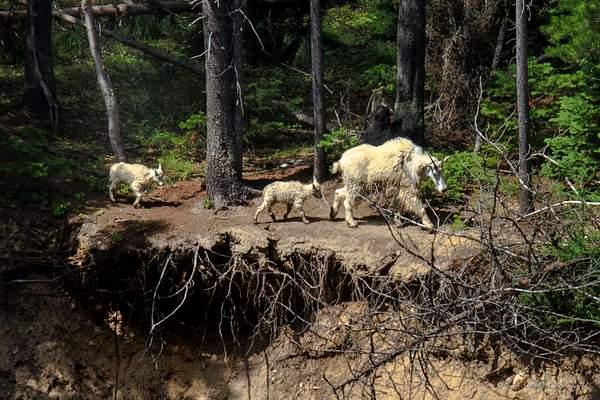 Mountain Goats-4 222