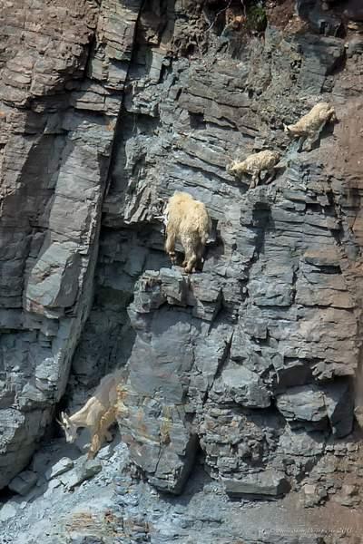 Mountain Goats-1 222