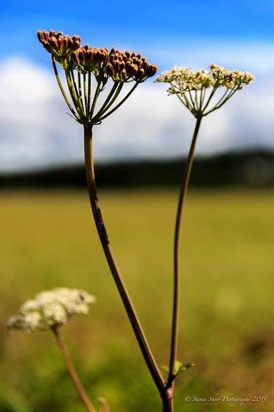 Wildflower in Alaska 222
