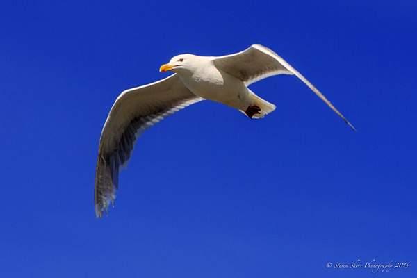Gull 222