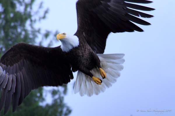 Bald Eagles-1 222