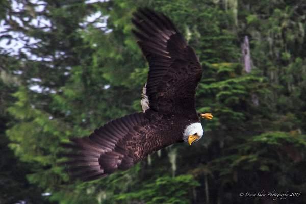Bald Eagles-2 222