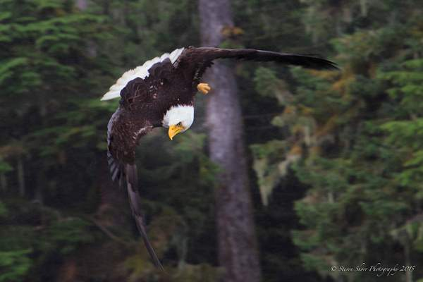 Bald Eagles-3 222