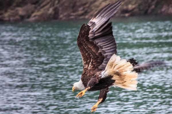 Bald Eagles-4 222