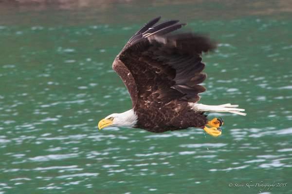Bald Eagles-5 222