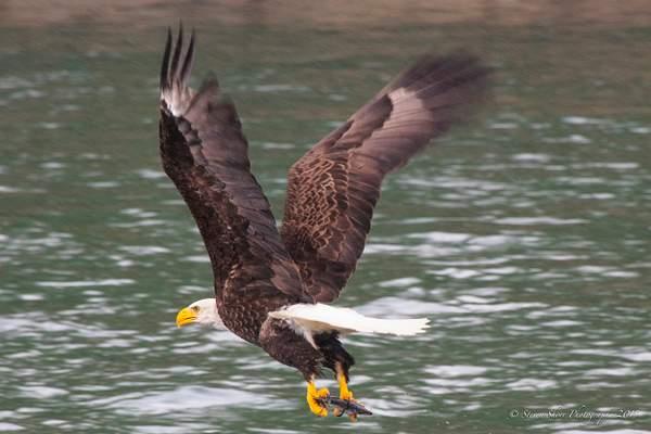 Bald Eagles-7 222