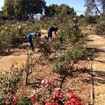 Heritage Rose Garden-Aug 31