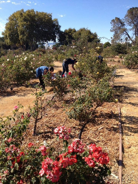 Heritage Rose Garden-Aug 31 by Ihskey2014