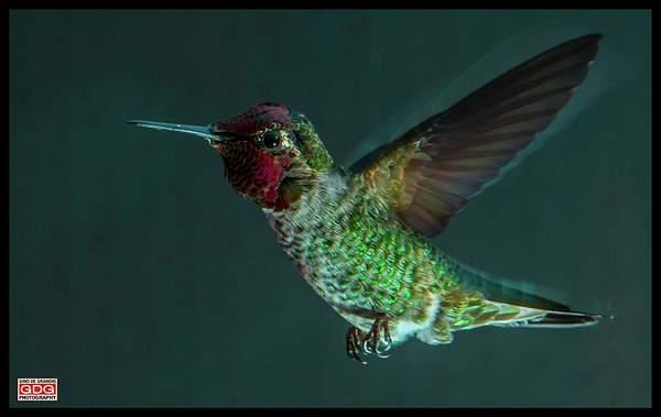 Hummingbird 222