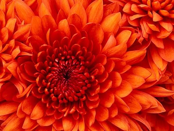 Chrysanthemum 222