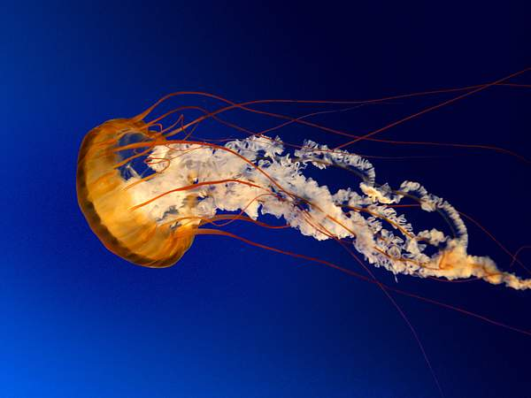 Jellyfish 222