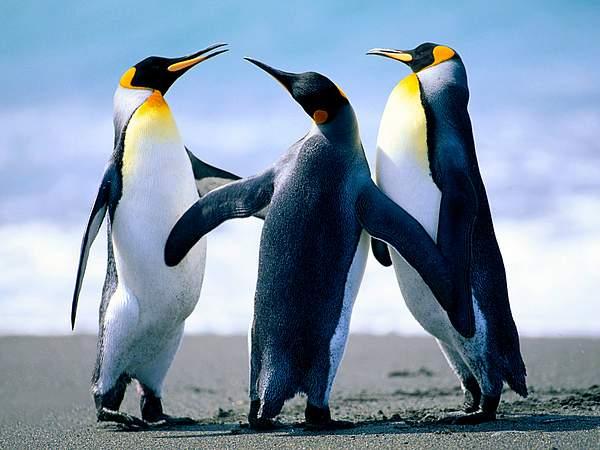 Penguins 222