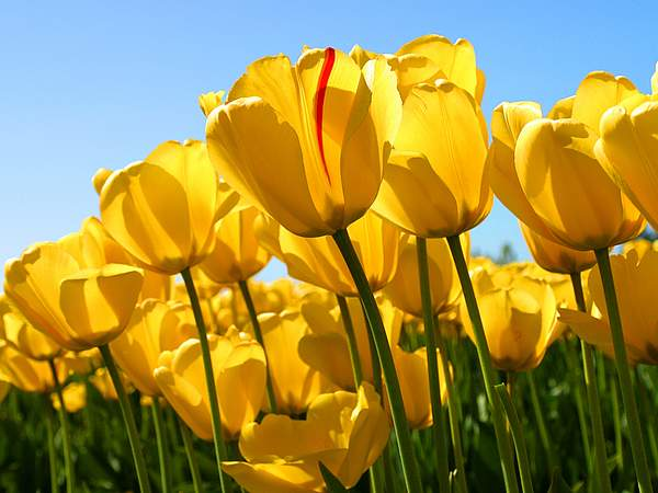Tulips 222