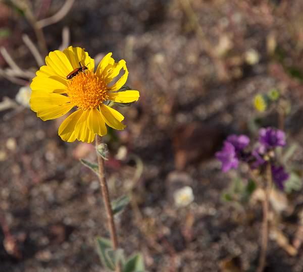 Desert Flowers at  Artists's Pallete.jpg 222