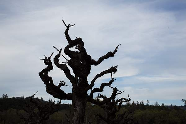 Gnarly Grape Vine - Mill Creek Winery, Napa.jpg