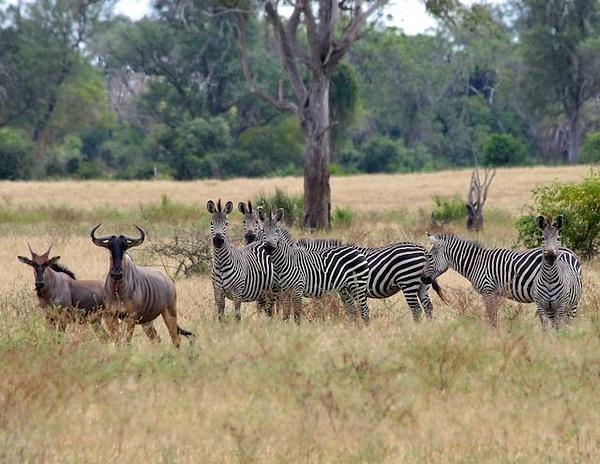 Zebra and Wildebeest by AnneMetzger