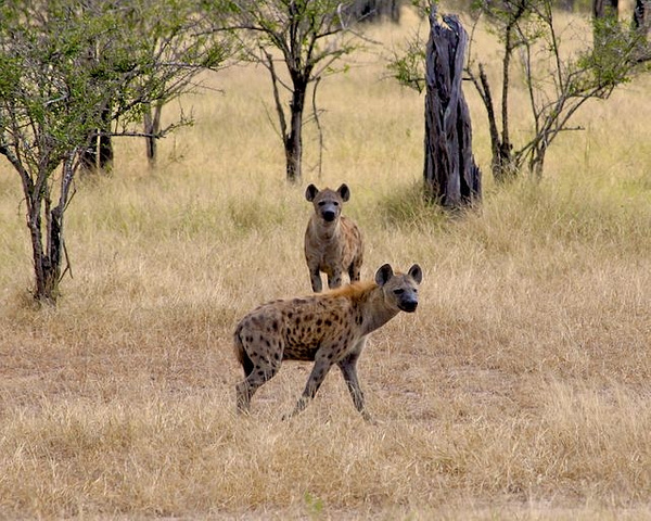 Spotted Hyena by AnneMetzger