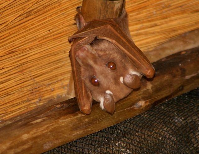 Adorable Fruit Bat