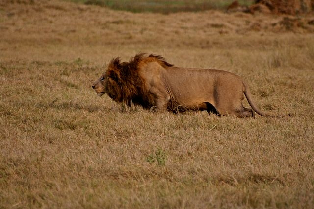 Male lion hunting
