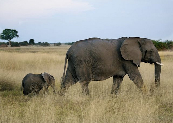 Mother Elephant with 3 month old by AnneMetzger